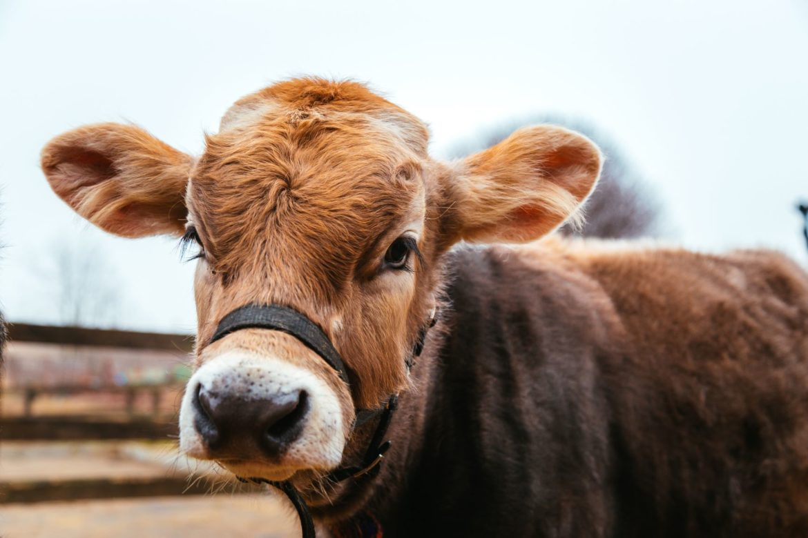 Cow protection project